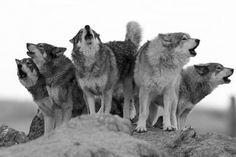 Lobos♥♥♥
