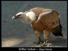 The griffon vulture (Gyps fulvus) is a large Old World vulture in the bird of prey family Accipitridae. Like other vultures, it is a scavenger, feeding mostly from carcasses of dead animals which it finds by soaring over open areas, often moving in flocks.