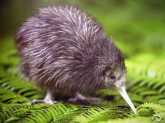 KIWI BIRD <3 This makes me sad knowing I will never know the softness of its feathers...