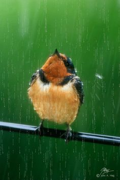 A young Robin Red Breast is looking up as it is enjoying a wonderful spring bath from Heaven.