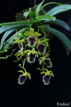 Haraella retrocalla - A miniature-sized, Taiwanese, epiphytic species found in ancient forests at elevations of 1000 to 2200 meters that needs warm to cold conditions with even year round watering and medium bright light.