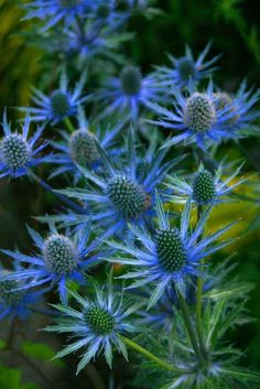 Looking for a fascinating addition to the garden? Then why not consider growing sea holly flowers. Learn more about the flower here.