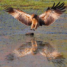 Whistling Kite landing on ground perch. -  Bluebush Wetlands, Mornington WIldlife Sanctuary, Western Australia.