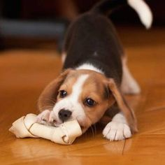 Cutest Beagle Pictures | List of Cute Photos of Beagles