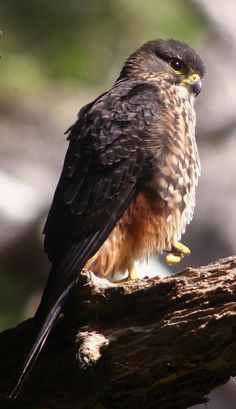 The New Zealand Falcon or Kārearea (Falco novaeseelandiae) is New Zealand's only endemic falcon and the only remaining bird of prey endemic to New Zealand. Other common names for the bird are bush hawk and sparrow hawk. It is frequently mistaken for the larger and more common swamp harrier.