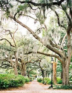 Old Savannah live oaks covered in Spanish moss.   Photography by Jen Huang