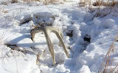 5 Best Places To Find Deer Shed Antlers -  Just walking around in the woods trying to find shed deer antlers is a low-percentage deal. Concentrate your efforts in these five areas to up your odds of owning more bone.