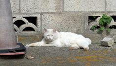 白模様の猫(806) 猫写真-横浜
