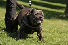 Bandog American Bandogge Mastiff, American Pitbull, Cane Corso, Pitbull Terrier, Big Dogs, Dog Life, Crosses, Hanging Out, Pitbulls