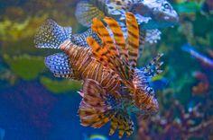 Lion Fish by ~Paladin27