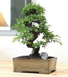 Some bonsai trees are simply incomparable to other bonsai trees. Chinese elm bonsai trees offer distinctive leaf and trunk shapes. Pruning the Chinese Elm Bonsai tree will continually produce new leaves to any shape. The elm is one of the popular bonsais Bonsai Tree Types, Bonsai Tree Care, Indoor Bonsai Tree, Ficus Bonsai, Bonsai Garden, Bonsai Trees, Bonsai Plants, Gardening Zones, Container Gardening