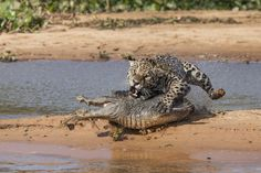 Ambush in the Pantanal Photograph by Dan Mead -- National Geographic Your Shot