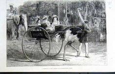 Ostrich Cart Jardin D@acclimation Paris Old Print 1875