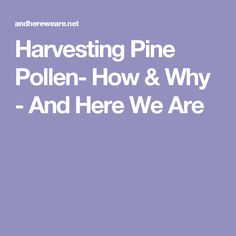 Harvesting Pine Pollen- How & Why - And Here We Are