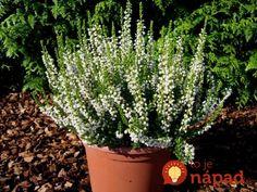 Jednoduchá rada, s ktorou vám vresy nevymrznú ani pri mínus 20: Stačilo urobiť toto a kvitnú aj pod snehom! Plants, Inspiration, Gardening, Forks, Compost, Lawn And Garden, Biblical Inspiration, Bobby Pins, Plant