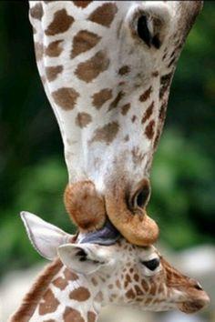 Giraffe kisses her baby - 19 Lovely Cute Animals Cute Creatures, Beautiful Creatures, Animals Beautiful, Beautiful Things, Simply Beautiful, Cute Baby Animals, Animals And Pets, Funny Animals, Wild Animals