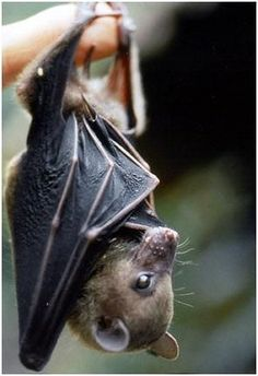 Flying FOx The Occasional Bat (@OccasionalBat) | Twitter