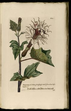 Knorr, G.W., Thesaurus rei herbariae hortensisque universalis, vol. 1: t. 156 (1750-1772)