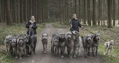 Pack of Irish Wolfhounds...They wouldn't have a chance if these dogs decided to run....