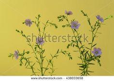Purple flowers on a yellow background Image ID:438033658 Copyright: Alina Craita