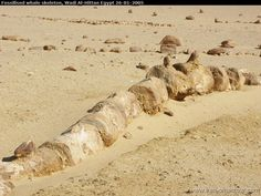 Fossilized skeleton...., Valley of the whales Wadi Al-Hittan Egypt