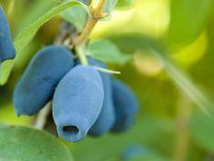 Kamčatská borůvka- plody zimolezu