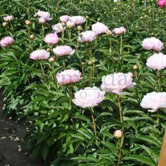 pioen 'pecher', sterkst geurende pioen, lange bloei