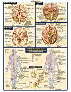 Nerves/ Brain