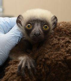 Beatrice, baby coquerel's sifaka, Duke Lemur Center