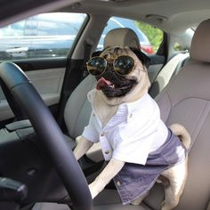 Pugs love to joyride