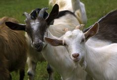 A veterenarian shares his experience raising goats, and how his strategies have changed. Originally published as