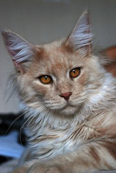 https://flic.kr/p/7CGP9f | Maine Coon Henry 9 months old by David Howes