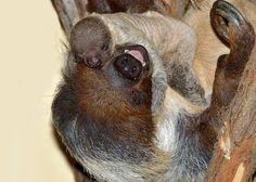 baby sloth + happy momma!