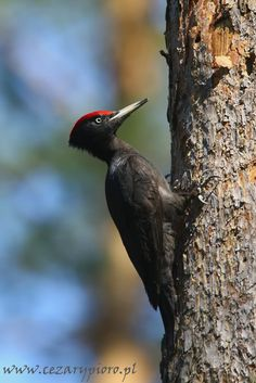 Woodpeckers, Birds, Animals, Google, Photos, Black, Woody Woodpecker, Animales, Pictures