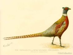 The Mongolian or Ring-Necked Pheasant (Phasius Torquatus). Created by artist S. F. Denton (Sherman Foote) born in 1856 and died in 1937 Well known for his exquisit drawings of fish, birds, and mamals when he was comissioned for several years to illustrate the New York State Fish and Wildlife Annual Report, part of the Forest, Fish and Game Commission of New York State.