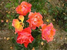 Fellowship (Easy Livin) Rose