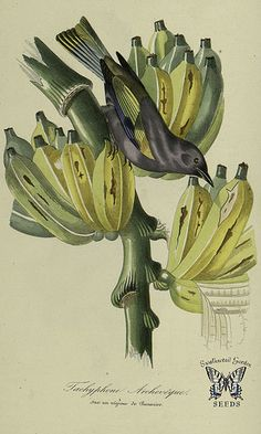 Banana_Illustration by Jean Theodore Descourtilz_1842