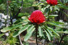 Australian Flora- Waratah - Floral Emblem of NSW