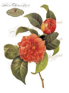 vintage camellia illustration