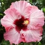 Exotic Hibiscus 'Pretty in Pink'