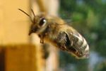 SHARE:     print      Researchers recreate bee collapse with pesticide-laced corn syrup