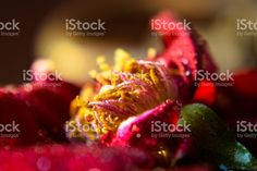 Close up view of stamen of a Red Rose royalty-free stock photo