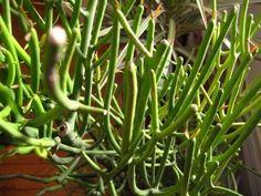 (Euphorbia tirucalli) pencil-cactus