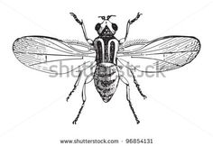 Chloropid Gout Fly Or Barley Gout Fly (Chlorops Taeniopus) / Vintage Illustration From Meyers Konversations-Lexikon 1897 - 96854131 : Shutterstock