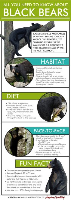 bears ANIMAL INFOGRAPHICS: BLACK BEARS Learn about one of North Americas favorite furballs, the mighty black bear. Check out this infographic for information on the mammals Reptiles, Mammals, Black Bear Habitat, Black Animals, Cute Animals, Bears Preschool, Bear Species, Bear Hunting, Hunting Tips