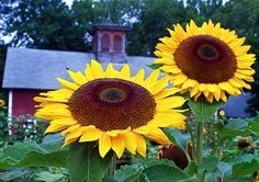 + How to Grow Sunflower Seeds