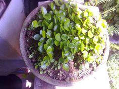 PARIWISATA INDONESIA: Menanam Biji Kemuning (Murraya paniculata) Untuk B...