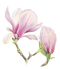 Magnolia Soulangeana by Cheryl Wilbraham Watercolor Cards, Watercolor Flowers, Watercolor Paintings, Watercolour, Illustration Botanique, Illustration Blume, Botanical Drawings, Botanical Prints, Art Floral