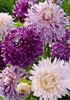 ~~Dahlias 'Jumbo' Mixed -   Magnificent collection of medium-high dahlias with white and/or lilac blooms.The 'Jumbo Mix' flowers are real eye catchers in the border. They combine beautifully with gladioli and of course with other varieties of dahlias | Bakker Spalding Garden Company~~