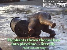 Happy #EleFunFactFriday everyone!  Elephants throw themselves into playtime...literally!